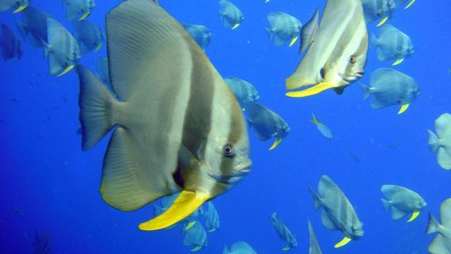 angelfish-202331_960_720