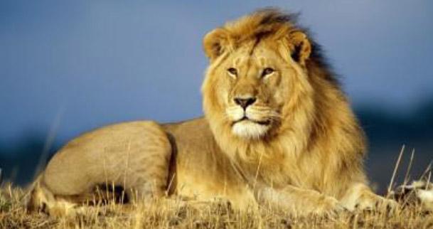 animali-leone